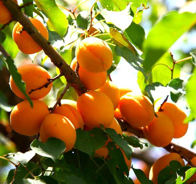 фото золотого абрикоса эти прекрасные работы