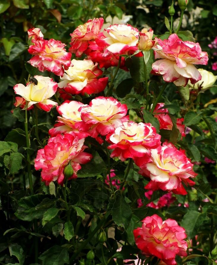 Роза дабл дилайт фото и описание