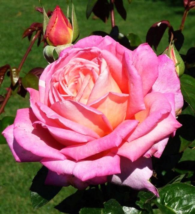 фото розовые пис держать