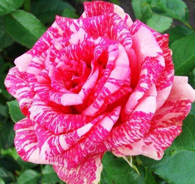 роза пинк интуишн фото и описание отзывы