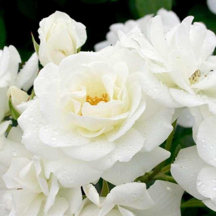 Роза белый айсберг фото и описание