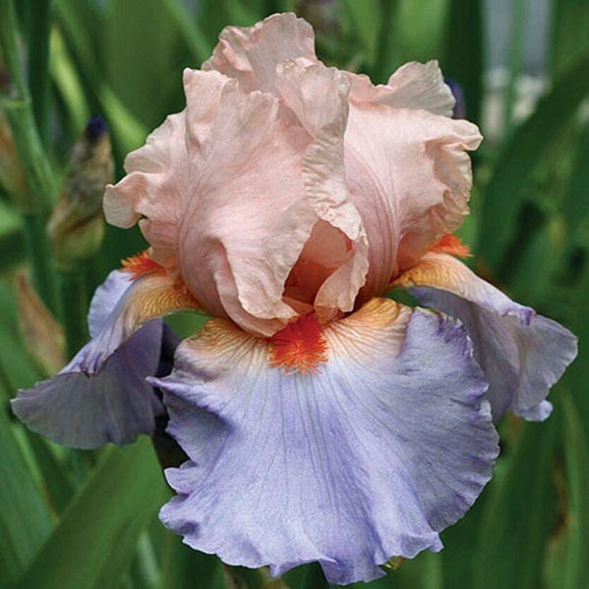 Фотографии цветка ириса столь важна