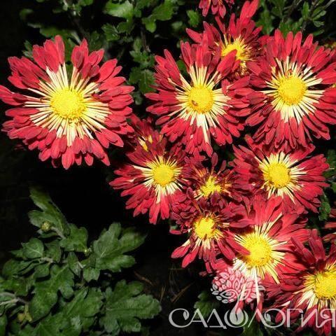 Хризантема алые паруса описание