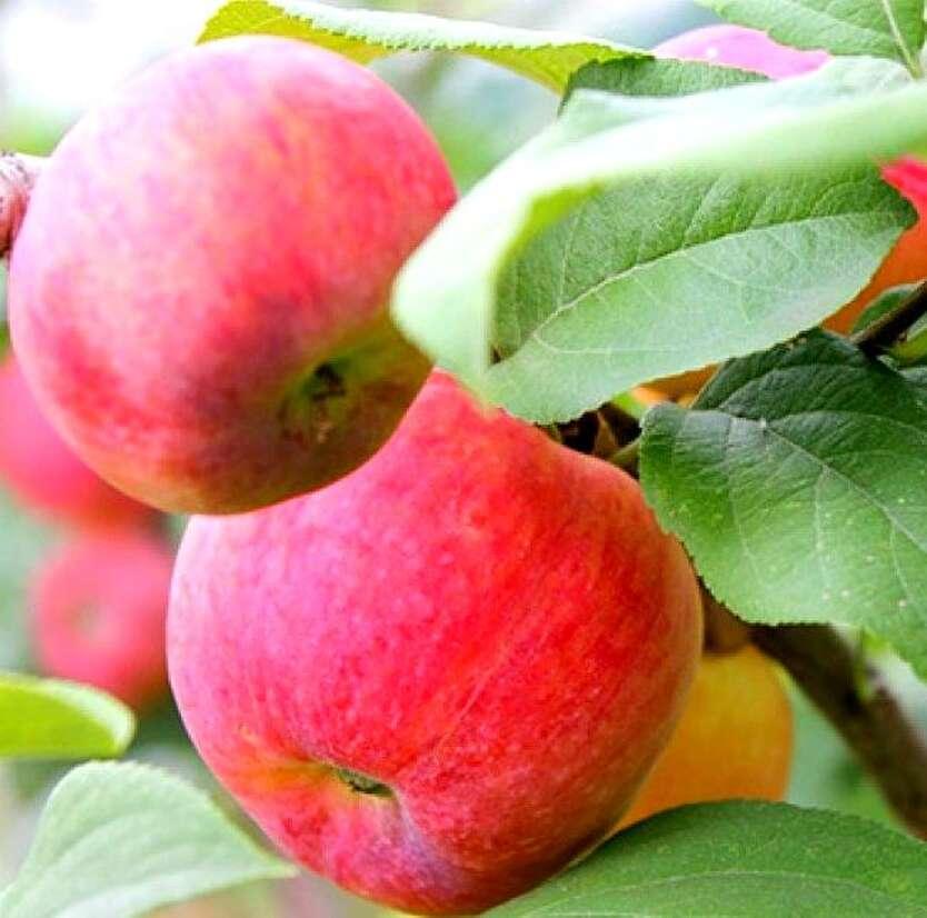 даже заявляла, яблоня краса свердловска описание фото отзывы регале